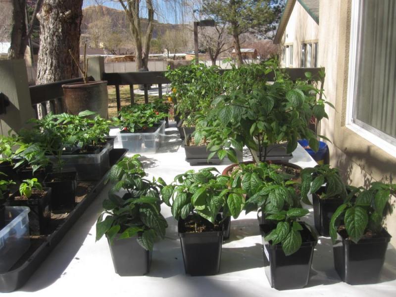 Red Rocota Pepper Plants.jpg