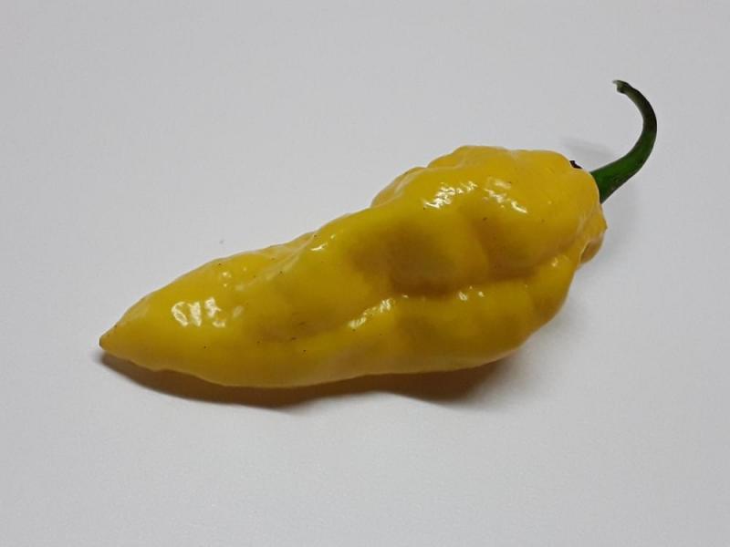 Bhut yellow assam 1.jpg