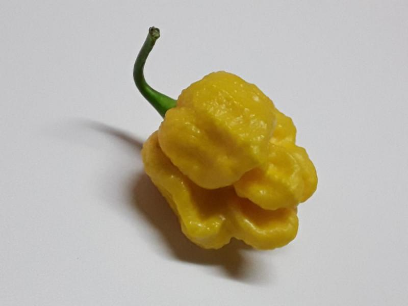 Yellow monster moruga.jpg