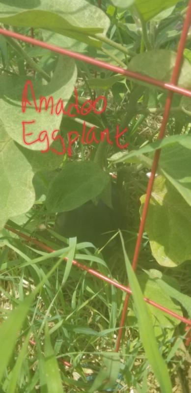 Amadeo Eggplant.jpg
