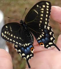 BST butterfly.jpg