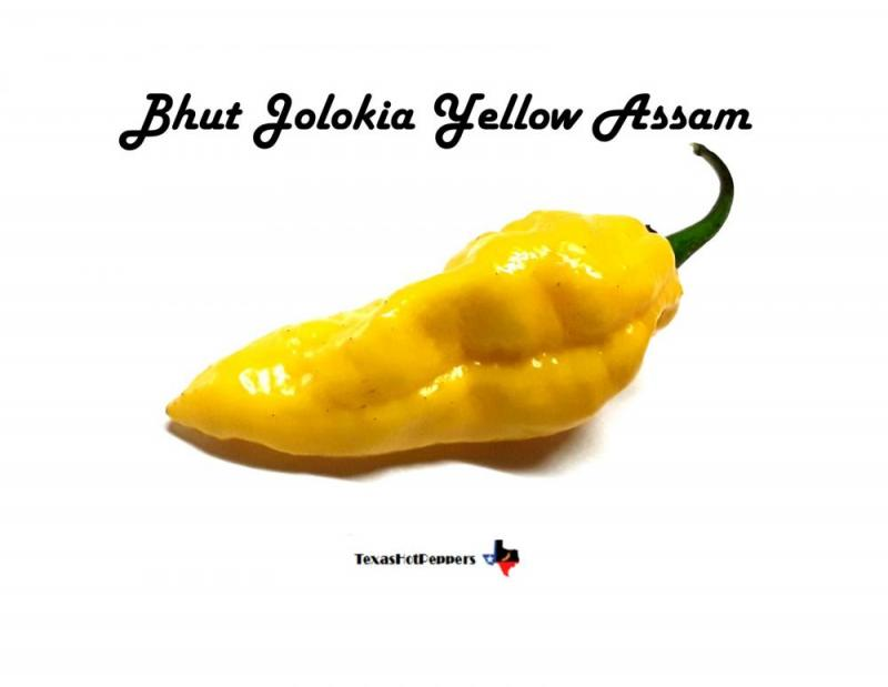 Bhut Yellow Assam.jpg