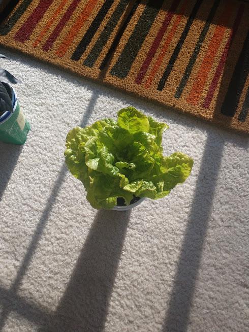 LettuceSUNday.jpg